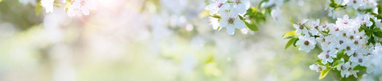 cropped-Kirschblüten.jpg